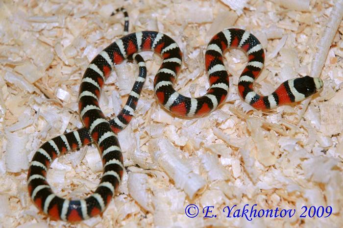 Королевская змея хуачукская (Lampropeltis ...: www.aqualogo.ru/super_news_111211_1