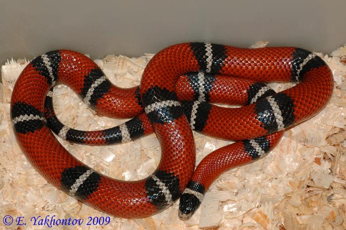 Молочная змея синалойская (Lampropeltis ...: www.aqualogo.ru/super_news_111211_1