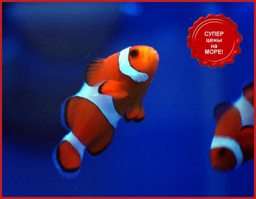 Клоун оцеллярис трехленточный всего за 790 рублей в супермаркетах Аква Лого!
