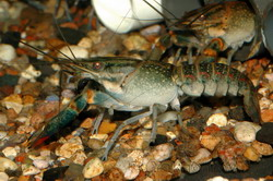 Cherax quadricarinatus