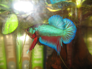 Рыбка - петушок или сиамский петушок в аквариуме