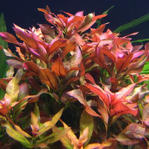 Длинностебельные растения: оформляем задний план. Часть 3 - cамые популярные: Людвигии