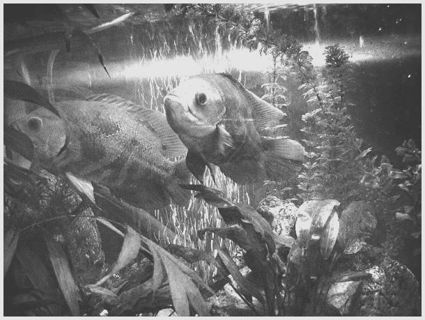 http://www.aqualogo.ru/img/images/istoriya_aquariumistiki/astronotusy_1958.jpg