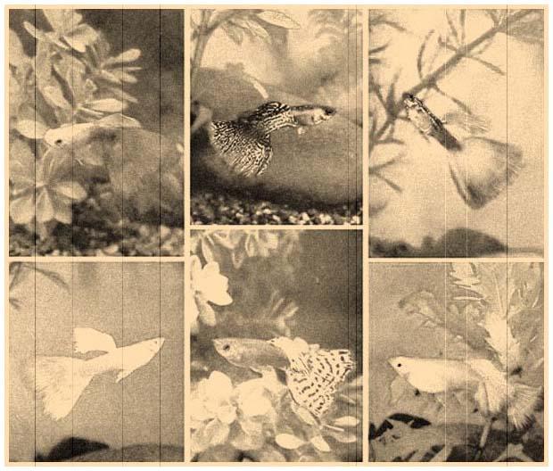 http://www.aqualogo.ru/img/images/istoriya_aquariumistiki/guppi_1960.jpg
