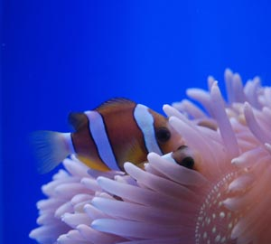 Клоуны и актинии. Наблюдаем за тайнами живой природы в аквариуме
