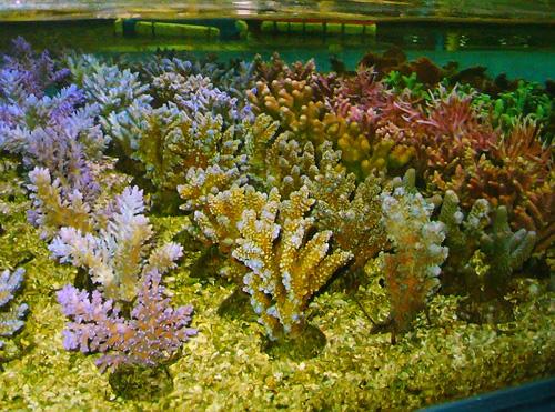Коралл в домашних условиях