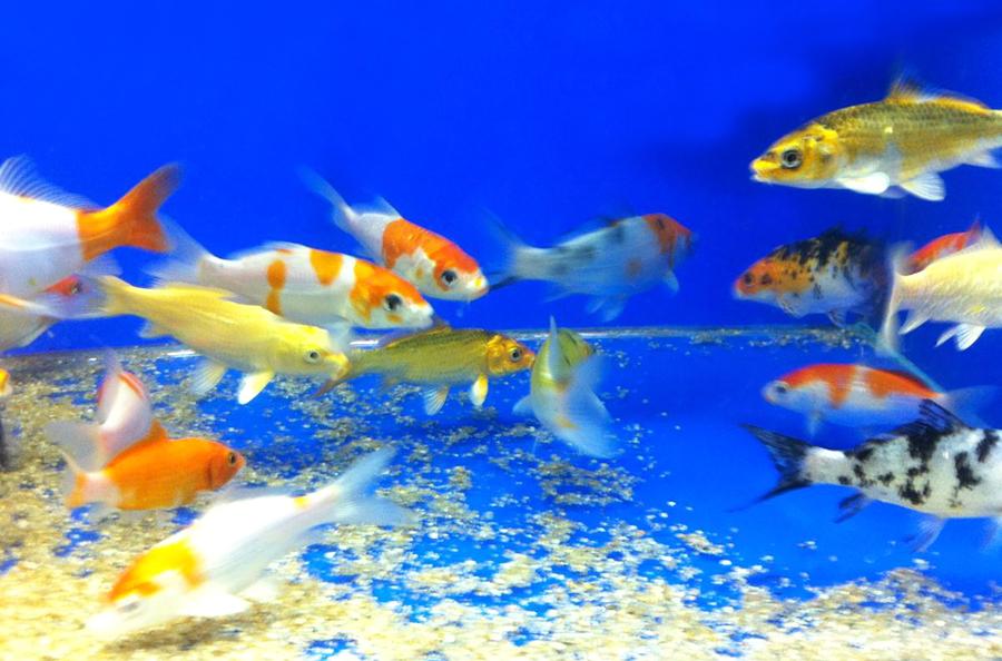 Специальное предложение на прудовых рыб в Аква Лого