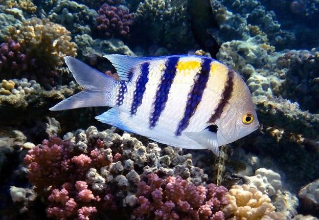 Рыба-сержант