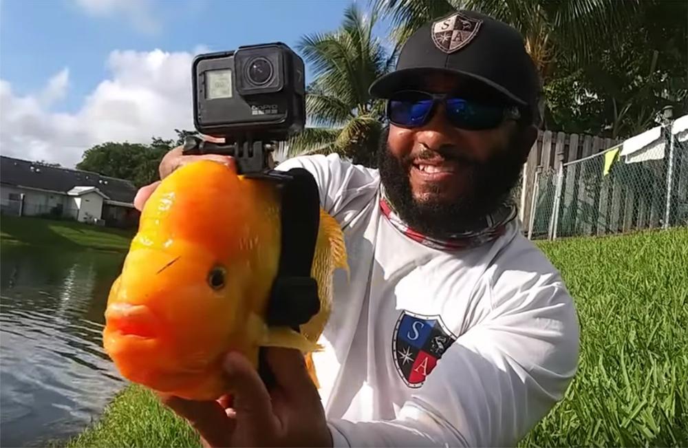 Цитроновая цихлазома снимает видео GoPro камерой