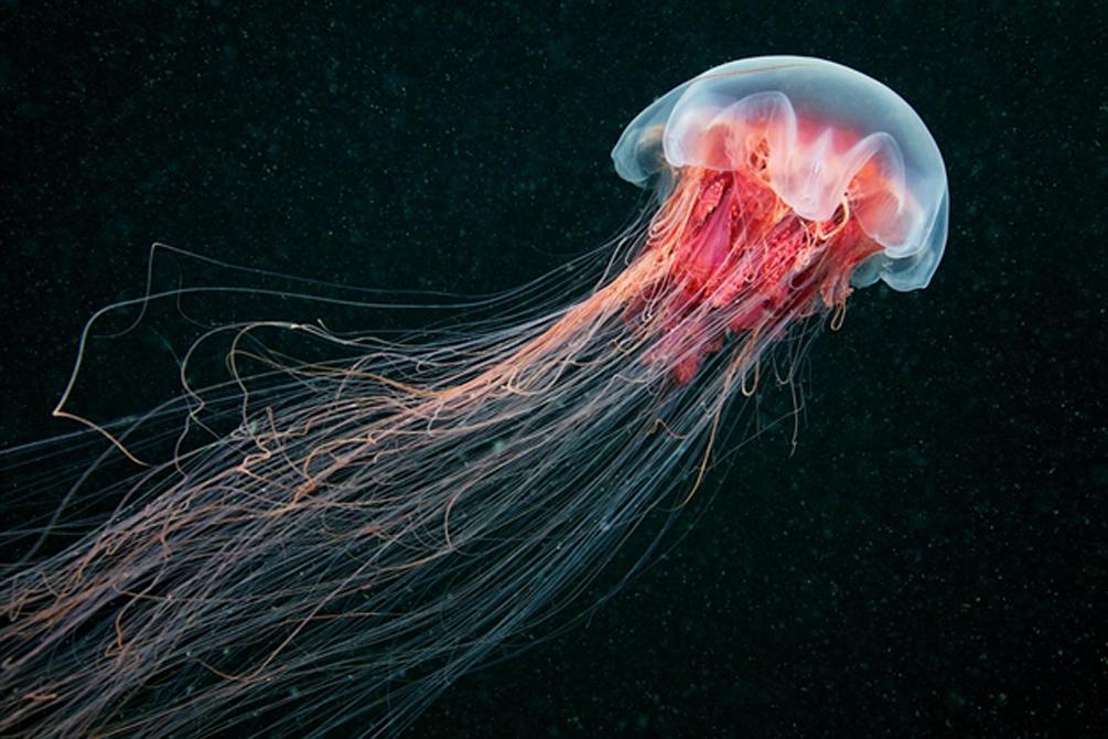 Королева медуз