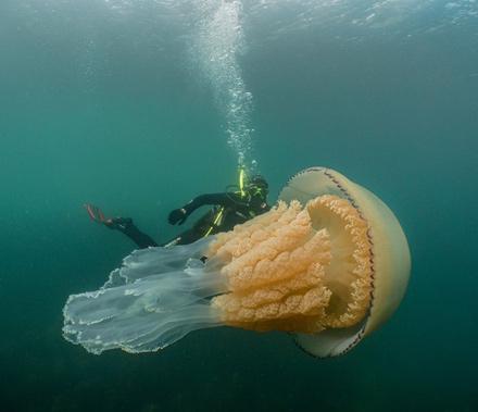 Медуза размером с человека