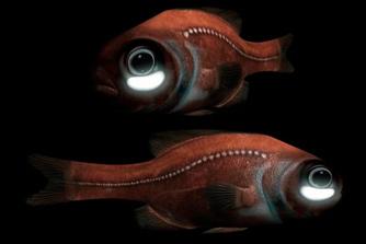 Рыба с фонарем под глазом