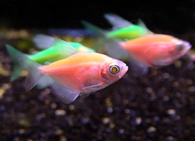 Почему рыбы светятся? Гло фиш.