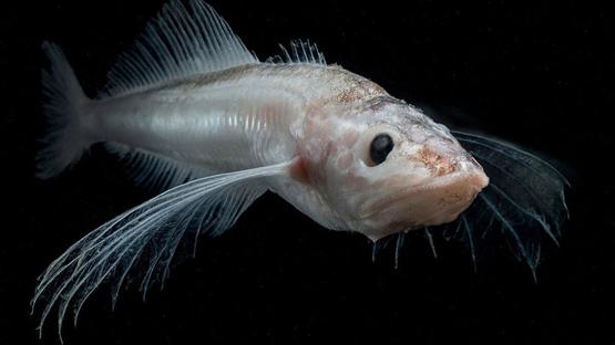 Голомянка - полупрозрачная рыбка из Байкала