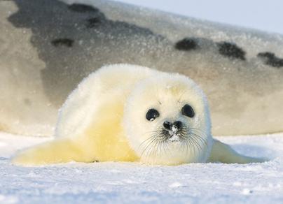 Истребление детенышей гренландского тюленя