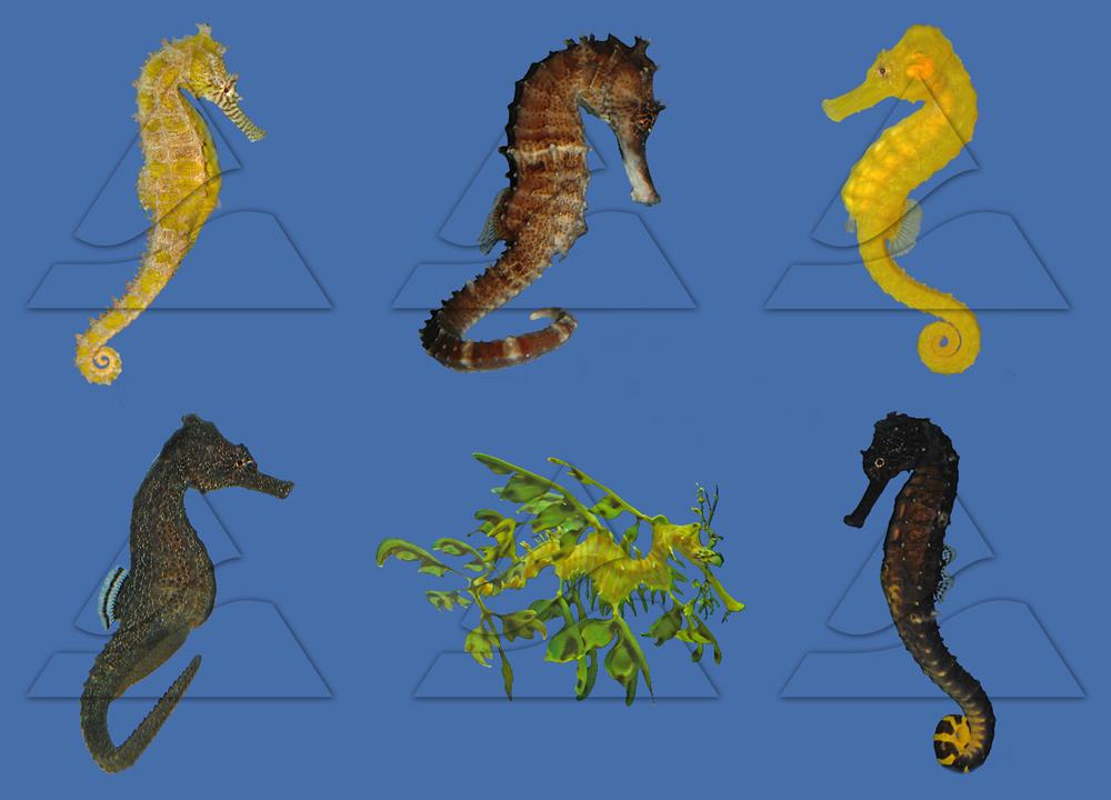 Морские коньки - эволюция и распространение