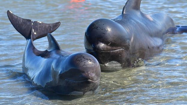 Спасение китов отдыхающими