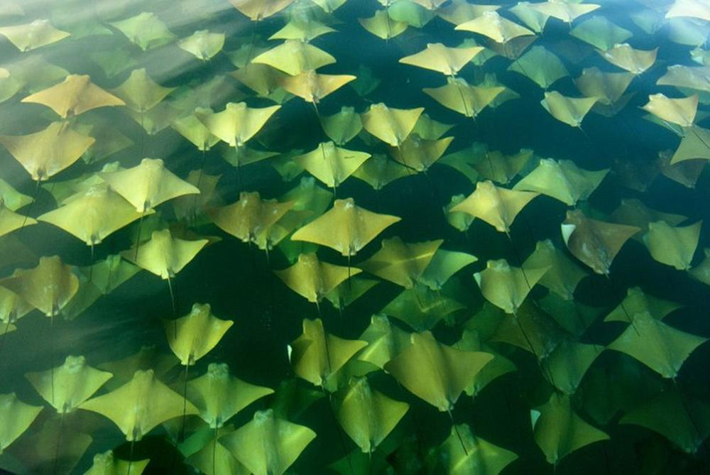 Миграция золотых скатов