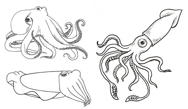 Чем отличаются осьминоги, кальмары и каракатицы