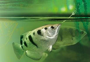 Рыбка брызгун – полосатый охотник