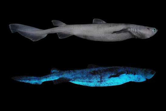 Люминисцентрые светящиеся акулы