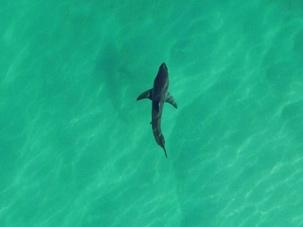 Слежка за акулами с помощью беспилотников