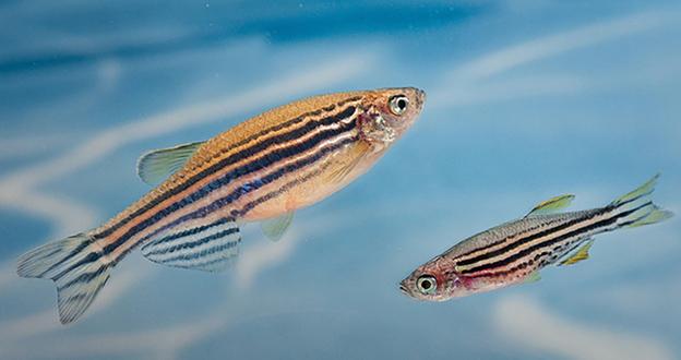 У рыбок выявлена способность дружить и чувствовать