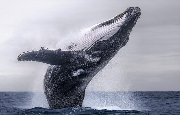 Почему киты выпрыгивают из воды?
