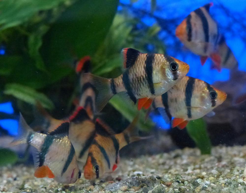 Самые неприхотливые рыбы для пресноводных аквариумов, ТОП-10