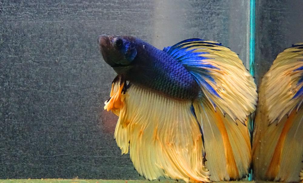 Топ 10 самых популярных лабиринтовых рыб