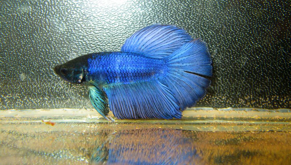 Популярные лабиринтовые рыбы в аквариумах
