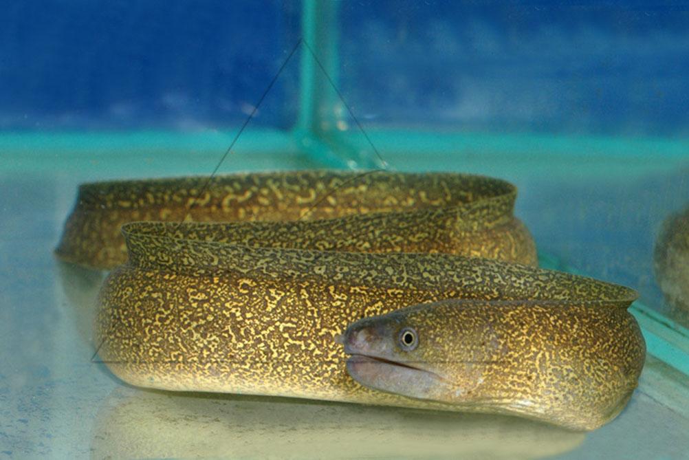 Топ 10 змеевидных аквариумных рыб