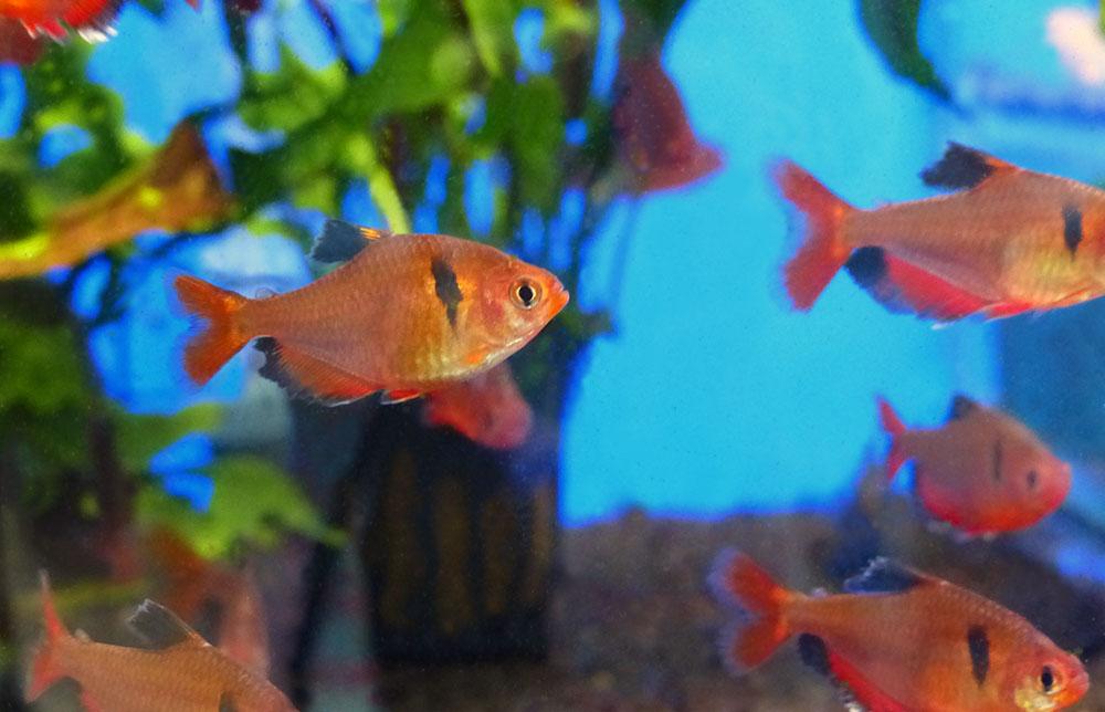 Топ 10 самых популярных харациновых рыб
