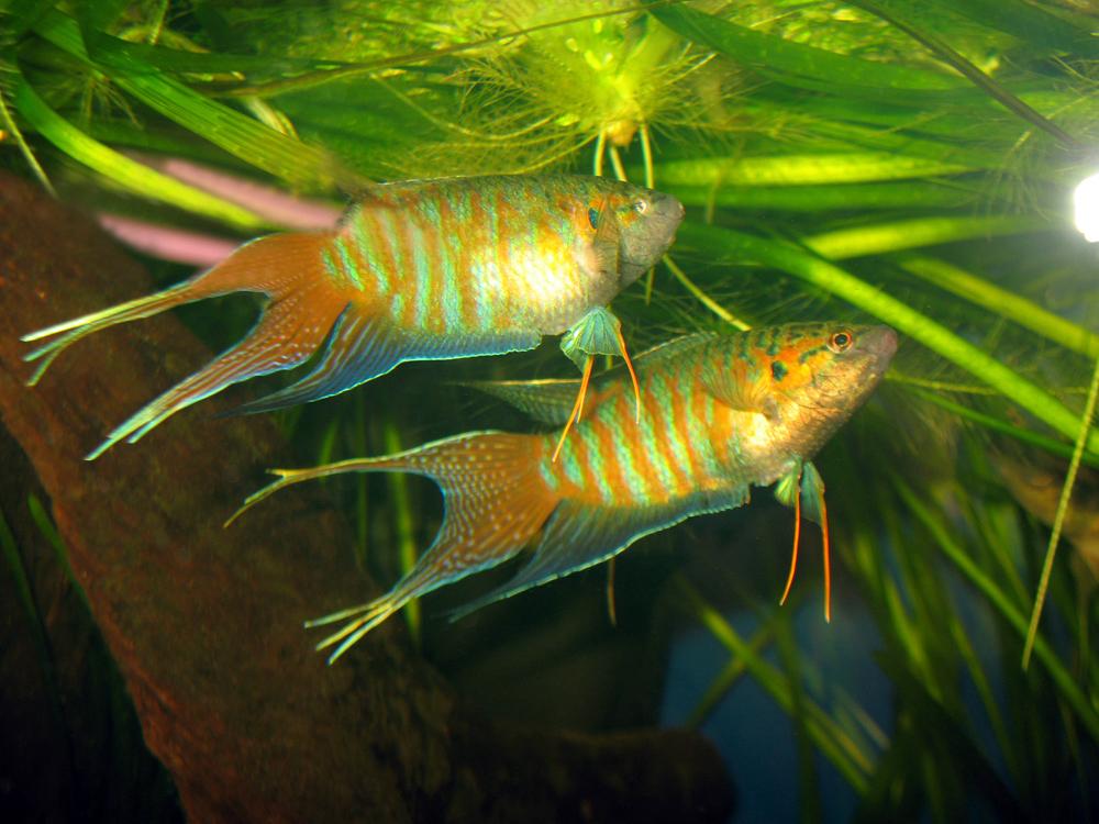рыбка макропод
