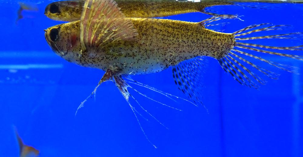 Топ 10 аквариумных рыб-верхоплавок