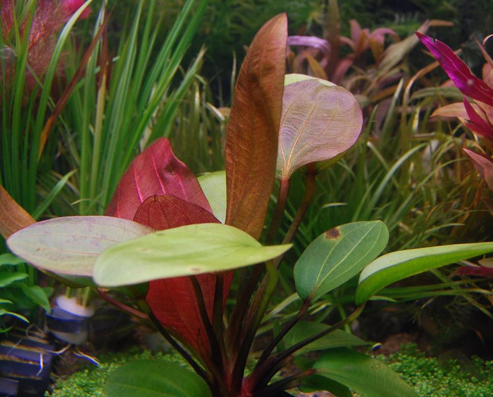 Самые неприхотливые аквариумные растения, ТОП-10