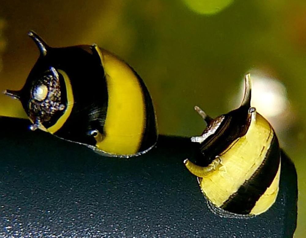 Топ-10 самых красивых пресноводных улиток