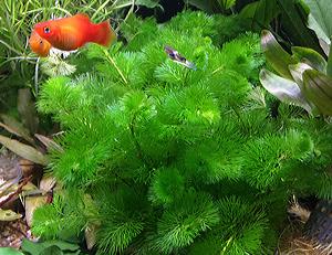 Длинностебельные растения: оформляем задний план. Часть 2 - аквариумные