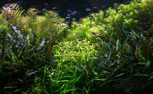 Cистемы СО2 в аквариуме или что у кабомбы на обед?