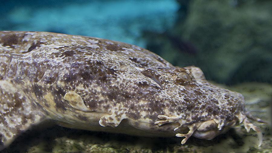 Воббегонг в природе и аквариуме. Акула – обманщик.