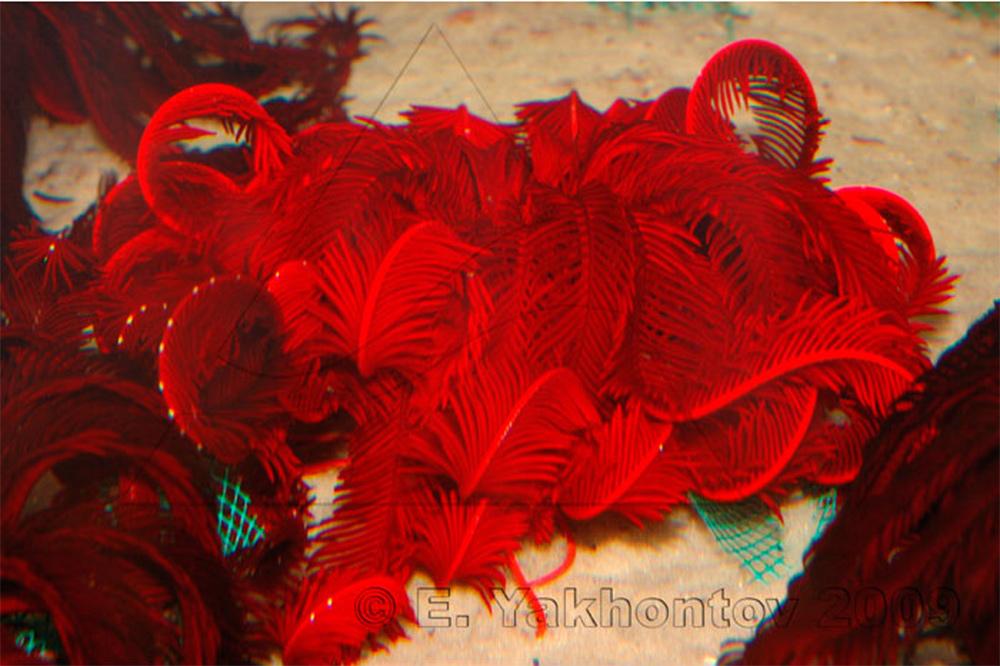 Морские лилии в аквариуме