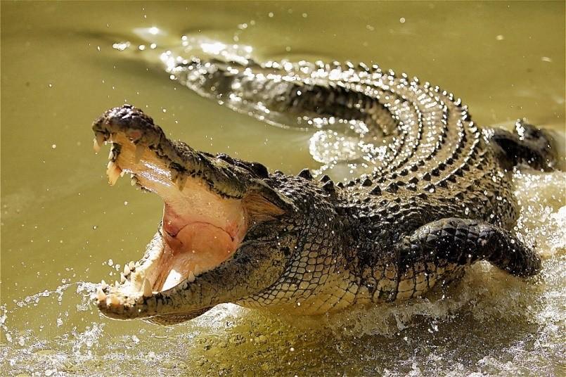 Сильнейший хищник – крокодил!
