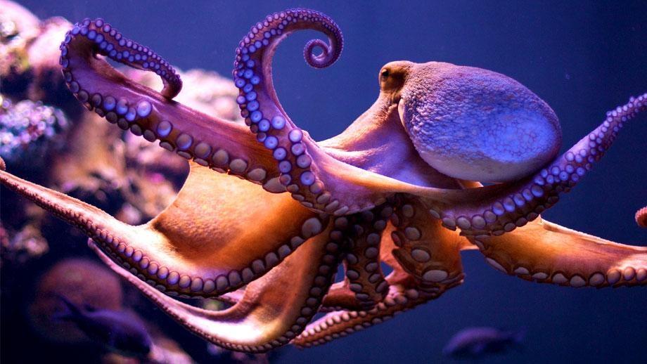 Знаете ли вы, как общаются осьминоги картинки