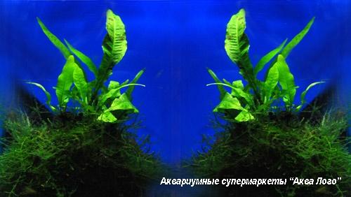 Микросорум крыловидный на кокосе