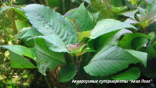Гигрофила вишневолистная