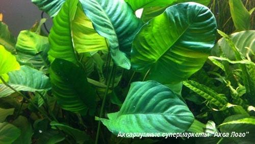 Анубиас Бартера (Сморщенный лист) одна из  разновидностей этого популярного растения