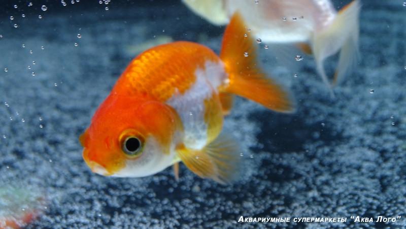 экспресс-запуск 100-литрового аквариума с золотыми рыбками рэнчу